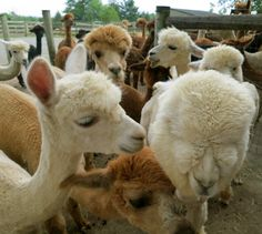 Cuteness overload at Eastland Alpacas!