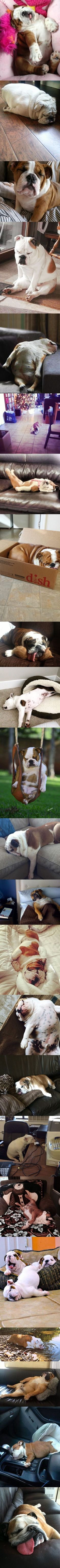 It's official, English Bulldogs can sleep at absolutely any time and anywhere. We challenge you to find a location and time that a #bulldog wouldn't find a way to nap! www.bullymake.com #buldog