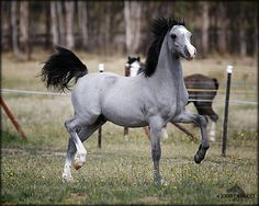 Gorgeous Grey horse with black mane and tail and two white socks