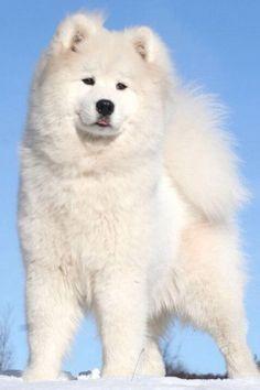 Samoyed Puppy ... BEAUTIFUL White Puppy Dog ... FROM: http://media-cache-ec0.pinimg.com/originals/38/2a/48/382a4868ba135cfeb5c90b519c1209eb.jpg