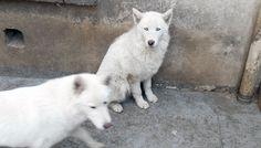 6 huskies délivrés d'un élevage illégal à Bobigny