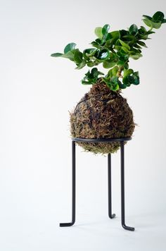 Kokedama - Natal Plum Bonsai Moss Ball (Limited Edition)