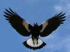 Google Image Result for http://fc02.deviantart.net/fs4/i/2004/234/1/5/Attack_of_the_Magpie.jpg