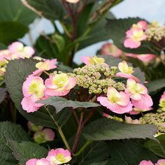 "New this year! Tuff Stuff Hydrangea is a vigorous reblooming Hydrangea, with lacecap blooms that cover the green from midsummer until frost. Hardy in zones 5-9 and will only reach 36"" in height. http://emfl.us/X9Ed"