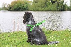 Maya is such a friendly dog always eager to say hello to all humans and hounds and so when Friendly Dog Collars sent us a non-pull harness to test it was serendipity that it was the bright emerald …