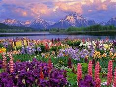 A beautiful field of spring flowers. Lupine, iris and more.