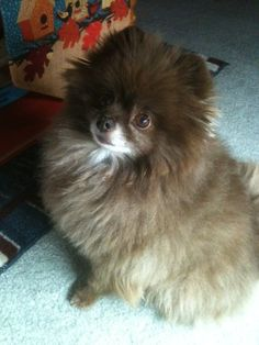 This is Hershey, our little rescue chocolate Pomeranian. We've had him almost four years (April 2013 will be 4 years) but we don't know his age. He was found as a stray and no one ever claimed him. The rescue group estimated his age at 1 or 2 when we got him so he could be 5 or 6 now. He's such a happy dog and every time I turn around he's playing. He gets the zoomies and runs around at full speed - it's so much fun to watch him. Vicki