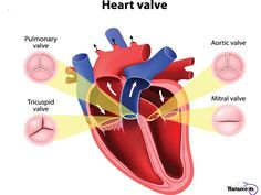 There are many facts to be learned about the cardiovascular system. The article below starts you off with a list of 10 Facts About The Cardiovascular System Every Nursing Student Should Know. Nursing School Tips, Nursing Notes, Heart Valve Disease, Mitral Valve Prolapse, Tricuspid Valve, Masters Degree In Nursing, Heart Valves, Fundamentals Of Nursing, Heart Conditions