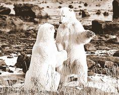 #WhitePolarBeers #iceage #whitish