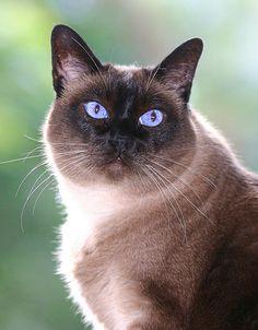 Applehead Siamese 1 - cat Breeds | კატის ჯიშები ...