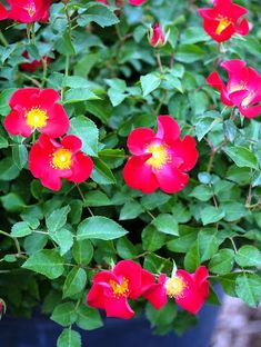 When to buy a rose bush. What is the prettiest rose? World's prettiest flower this year. Do floribunda roses bloom all summer? How to keep a rose bush blooming. Floribunda Roses, Shrub Roses, Red Shrubs, Best Roses, Mountain Rose, Single Rose, Rose Bush, Pretty Roses, Red Flowers
