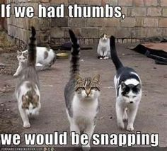 Cool cats---from West Side Story? Gangs and snapping. Cool Cats, I Love Cats, Crazy Cats, Bad Cats, Funny Kitties, Funny Cat Pictures, Funny Photos, Animal Pictures, Tierischer Humor