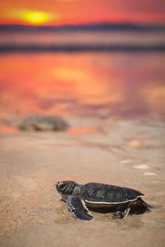 baby turtle on on the beach at sunset....