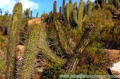 Paisaje desierto de Chile con Echinopsis chiloensis y Acacia caven — en Chile, La Serena.
