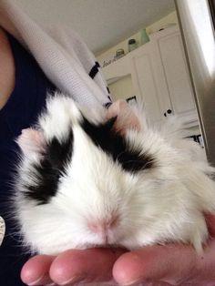 My New Guinea Pig, Barry!