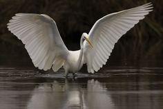 Grote Zilverreiger (Van vroegevogels)