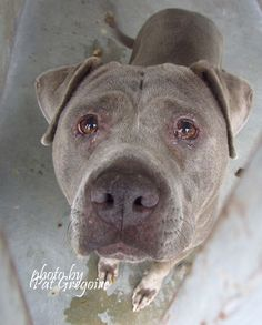 A4821315 I am a friendly 3 yr old female blue/white pit bull mix. I came to the shelter as a stray on April 22. available 4/26/15 NOTE: Pit bulls are not kept as long as others so those dogs are always urgent!! Baldwin Park shelter https://www.facebook.com/photo.php?fbid=960269477318223&set=a.705235432821630&type=3&theater