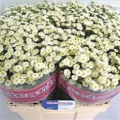 Tanacetum Baya is a lovely white variety in the Aster family. 60cm tall