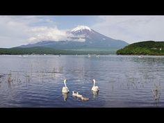 白鳥の親子と富士山 Mt.FUJI and Family of swans ( Shot on RED EPIC ) - YouTube