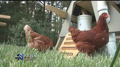 New ordinance could allow backyard chickens in Hanover County HANOVER COUNTY, Va. (WRIC) - Hanover County residents are one step closer to being able to keep chickens in their back yards. Thursday night, Hanover County's Planning Commission approved an ordinance that would allow chickens in residential areas. It's a decision resident Steve Chippendale with Dunreath Farm agrees with.