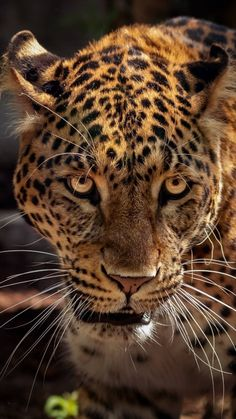 A Jaguar is not a leopard. A Jaguar is much bigger, lives not in Africa but in the jungles if South America. They have the strongest jaws of all the big cats. Jaguar Leopard, Jaguar Animal, Leopard Face, Black Jaguar, Nature Animals, Animals And Pets, Cute Animals, Wild Animals, Beautiful Cats