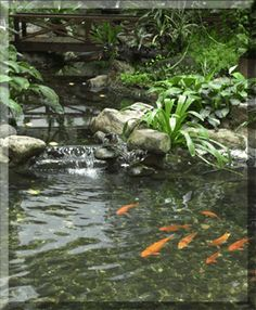 A Koi Pond, so tranquil and beautiful