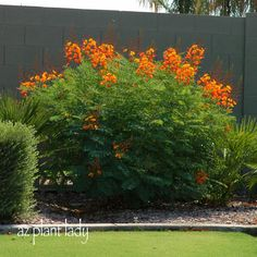 Red Bird of Paradise: Caesalpinia pulcherrima) is beautiful in the summer landscape and as you can see, a bare wall hides very well. Maintenance in my Zone area is very simple - just cut bac High Desert Landscaping, Landscaping Plants, Arizona Landscaping, Birds Of Paradise Plant, Paradise Flowers, Small Shrubs, Desert Plants, Desert Gardening, Arizona Gardening