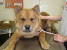 #ILLINOIS #URGENT ~ ID A178638 is a 1yo Shiba Inu / Chow mix at the shelter since 12-3-13 & in need of a loving #adopter / #rescue at PEORIA COUNTY ANIMAL CONTROL 2600 NE Perry Ave  #Peoria IL 61603 Ph 309-672-2440
