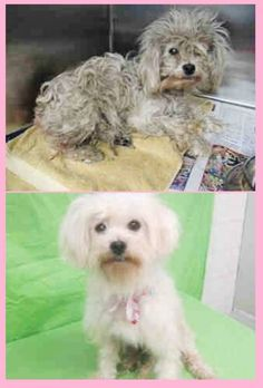 URGENT* STILL THERE* LOOK AT ME NOW!!! Take a look at the new and improved CRYSTAL! She is gorgeous and she is ready to go home. Please keep SHARING, the shelter is full and a FOSTER or Adopter woudl save her beautiful life. Thanks!  #A4836150 I'm an approx 8 year old female poodle min.spayed. I have been at the Carson Animal Care Center since May 29, 2015. at my temporary home at C403.Carson Shelter, Gardena, CA