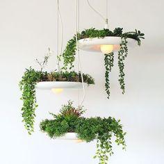 Plantes suspendues à des luminaires