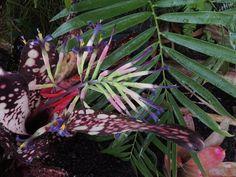 Bromeliad Plant Queen Tears - Tips Cara Merawat www.cara-merawat.com800 × 600 - Bromeliad Plant Queen Tears - Tips Cara Merawat