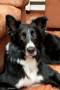 Diego Caro, Pet Potrait, Dog Portrait, Border Collie  Order an oil painting of your pet today at petsinportrait.com