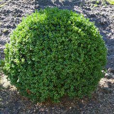 Ilex crenata Stokes Kugel 60cm wie Buchsbaum Nie wieder Ärger mit Buchsbaumpilz in Garten & Terrasse, Pflanzen, Bäume & Sträucher, Bonsai | eBay