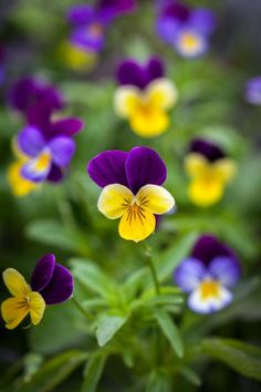 Viola tricolor, True Wild Form Seeds £2.42 from Chiltern Seeds - Chiltern Seeds Secure Online Seed Catalogue and Shop