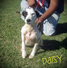Daisy is an adoptable Border Collie Dog in Mullins, SC. We are rescue friendly, adoption friendly, and transport help is available. Please contact Karen at SaveAMarionPup@gmail.com for more informatio...
