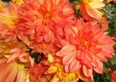 Dahlien,leuchtend,rot,orange,Herbst,Farbe
