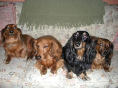 longhaired minis