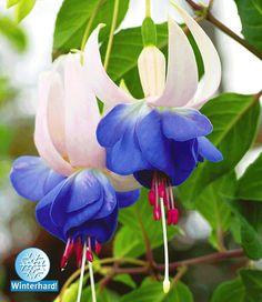 Winterharte Fuchsie Blue Sarah: 1A-Pflanzen | BALDUR-Garten