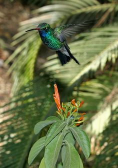 Amethyst-Throated Mountaingem or Amethyst-Throated Hummingbird (Lampornis amethystinus) is a species of hummingbird in the Trochilidae family. It is found in El Salvador, Guatemala, Honduras, and Mexico.