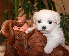 Maltese Puppies - 38 Pictures