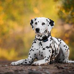 Tractive GPS Pet Tracker - US Edition >>> You can find out more details at the link of the image. (This is an affiliate link) Chibi Dog, Flea Shampoo For Cats, Dalmatian Dogs, Dog Teeth, Mundo Animal, Dog Memes, Cat Collars, Rescue Dogs, Dogs And Puppies