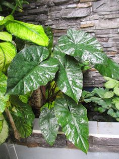 Garden Chronicles : Different Types of Alocasia - Names & Images Alocasia Plant, Garden Labels, Different Types, Types Of Plants, Plant Leaves, Names, Image