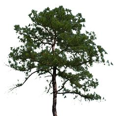 southern pines mature singles Landowner's guide to determining weight and value of standing pine trees david w patterson professor - wood science   discussion of the southern pine tree.