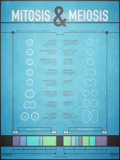 El póster para decorar tu habitación. Mitosis & Meiosis on Behance