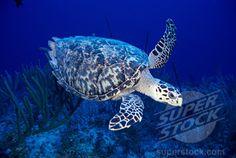 Hawksbill Turtle -Bahamas