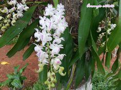 Planta y flores de la Orquídea de Limón o Aerangis citrata, viviendo en el tronco de un árbol de mango