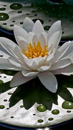 zen - white lotus