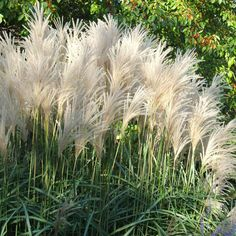 Just love the vintage whimsy these plants lend to their landscape...   [The graceful form and gorgeous plumes of the Maidengrass make this ornamental grass a must-have! See more awesome plants: www.bhg.com/gardening/design/styles/best-plants-and-trees-for-rooftop-gardens/?socsrc=bhgpin070312]
