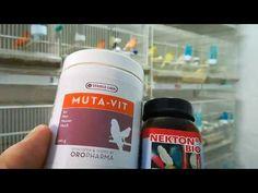 La cría de canarios ( vitaminas en temporada de mudas 2017) - YouTube Youtube, Nursery Trees, Vitamins, Goldfinch, Canary Birds, Hens, Seasons, Birds, Behavior