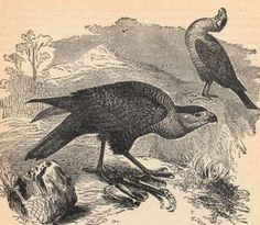 Guadalupe Caracara, Alfred Edmund Brehm  As with many recently extinct animals, this species was brought to extinction when collectors, including museums, sought rare specimens after hunters reduced their numbers on the island of Guadalupe, their only home.